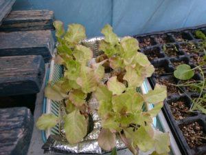 水耕栽培レタス