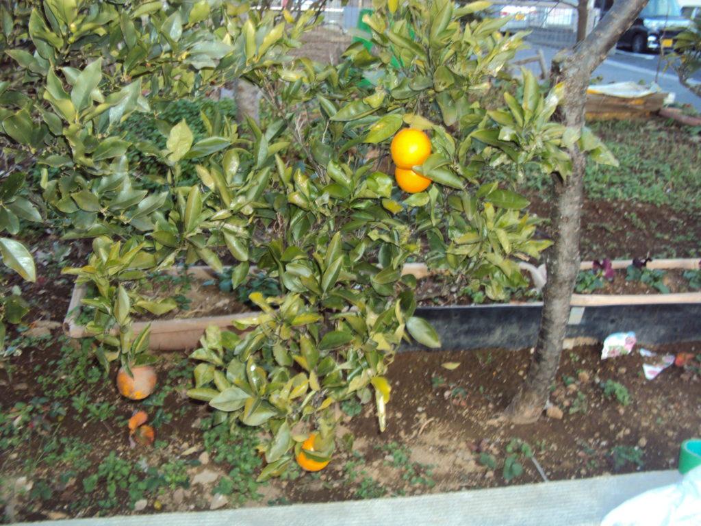 清美オレンジ実がなっております