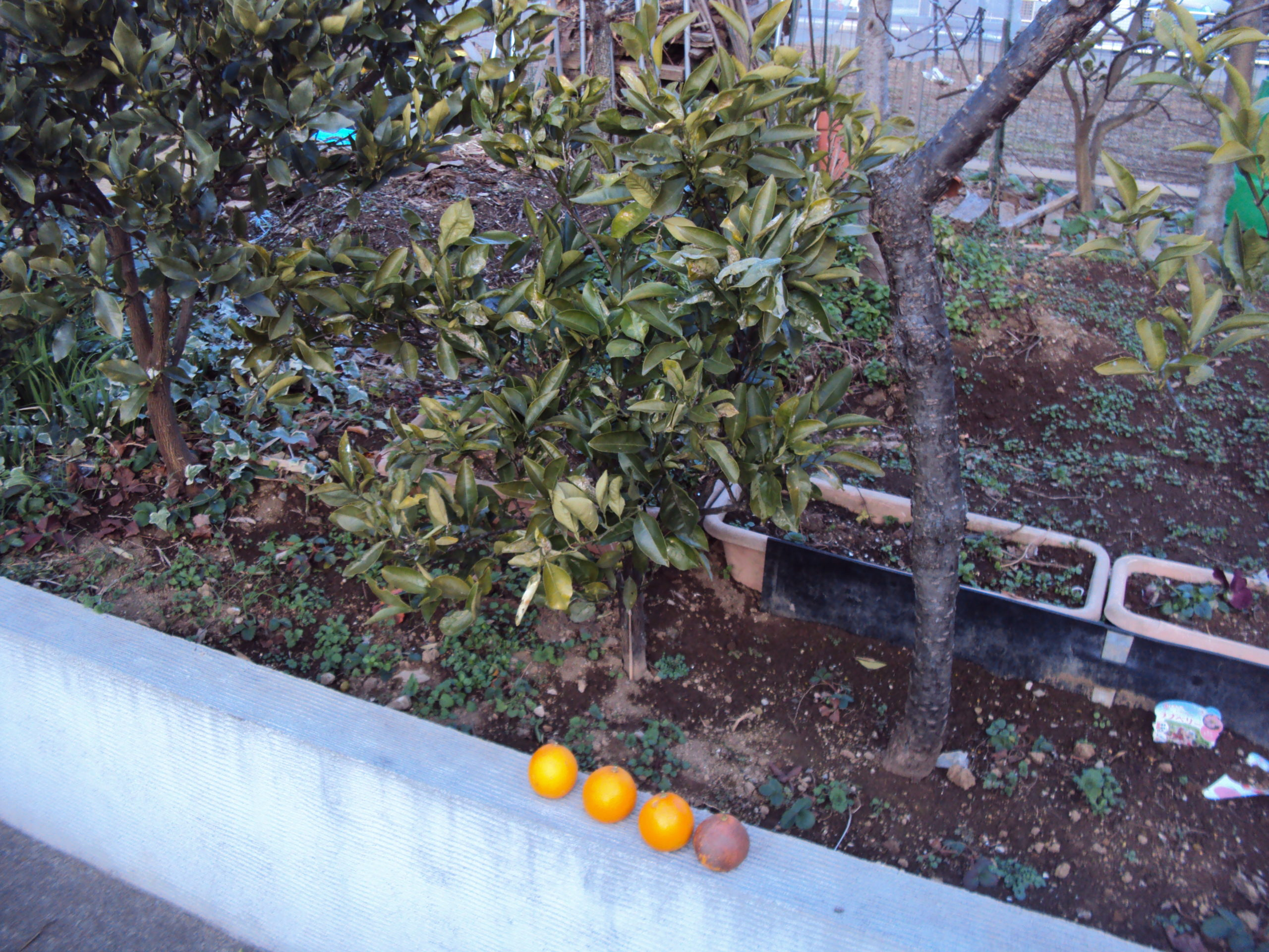 清美オレンジです