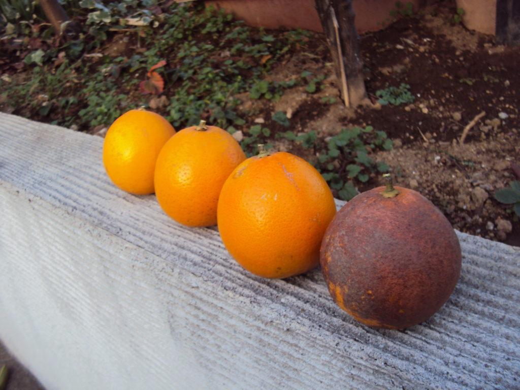 清美オレンジ??
